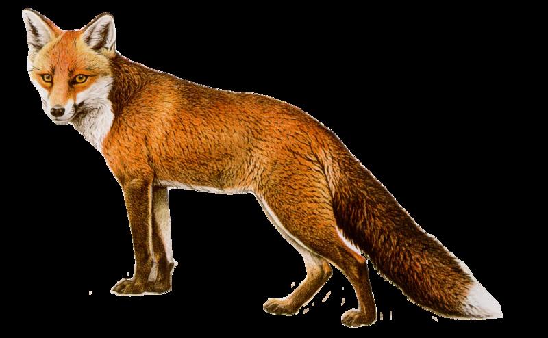 Renard fox zorro fuchs r v clipart png - Clipart renard ...