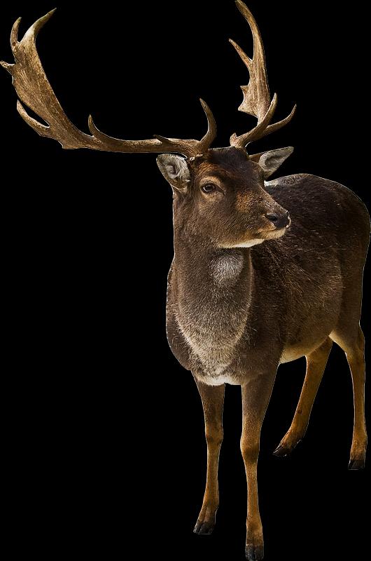 image cerf deer hirsch herten hjort. Black Bedroom Furniture Sets. Home Design Ideas