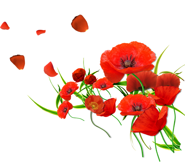 coquelicots,fleurs des champs,printemps,pétales rouge