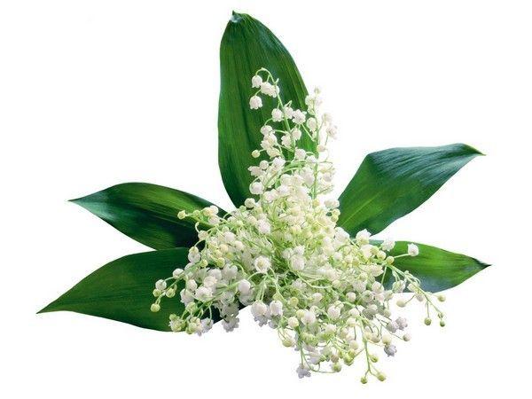Bouquet de muguet fleurs muguet clochettes brins muguet for Bouquet de fleurs muguet
